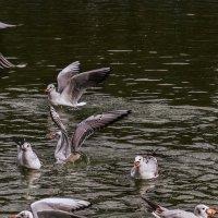 Чайки на пруду :: Виктория Бондаренко