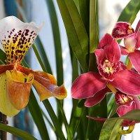 Орхидеи :: Paparazzi