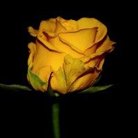 Жёлтая роза. :: Paparazzi