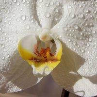 Орхидея :: Елена Олейникова