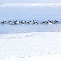 Зимующие утки :: Анатолий Иргл
