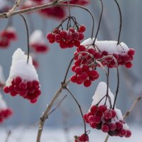 Красные ягоды :: Николай Полыгалин
