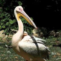 Высокомерный пеликан :: Swetlana V