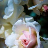 Rose flower :: Татьяна Пилипушко