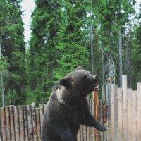 Бурый медведь Балу :: Виктория Титова