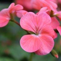 Цветок :: varona Гасымова