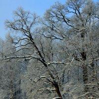 Деревья в снегу. :: юрий