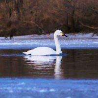одинокий лебедь... :: сергей