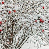 Зимний шиповник... :: Александр Никитинский