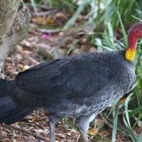 Австралийская кустарниковая курица :: Антонина