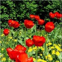 Красные тюльпаны. :: Чария Зоя