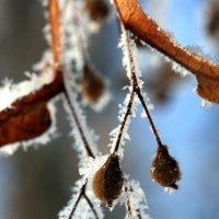 Зимние сережки. :: юрий