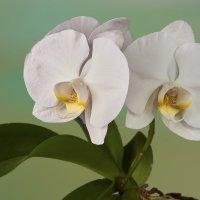 Орхидея :: Алексей Головин