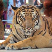 Задумчивый тигр :: Владимир Анакин