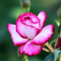 цветок :: Владлена Жук