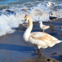 Одинокий лебедь :: Виктор Шандыбин