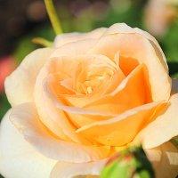 Роза... :: Mari Kush