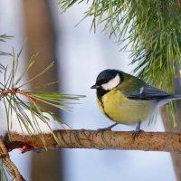 Птичка синичка :: Ната Волга