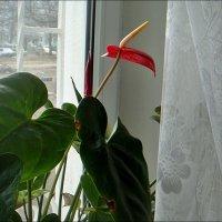 Антуриум в ожидании весны :: Нина Корешкова