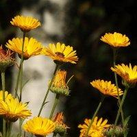 Жёлтые ромашки,подруженьки мои... :: Владимир Гилясев