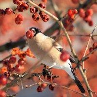 Снегирь в ягодах. :: Елена Шел