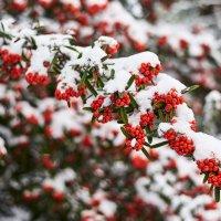 Красное под белым :: Михаил Бабаков