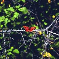 бабочка :: Карина Чечель