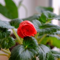 Бегония-нежный цветок :: Елена Фалилеева-Диомидова