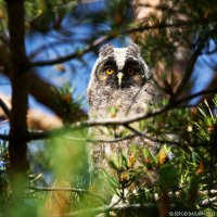 молодая сова :: Sergey Baturin