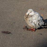 Одинокий голубь :: Оксана Лада