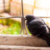одинокий голубь :: Тася Тыжфотографиня
