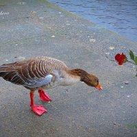 Ой! Роза! Подарю моей подруге ко дню всех влюблённых! :) Фотосессия одного гусика (серия) :: Nina Yudicheva