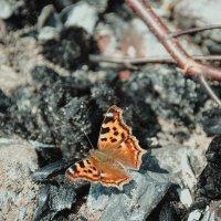 Просто бабочка :: Светлана Королева