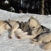 собачки на снегу :: Алла