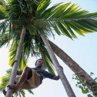 Собиратель кокосов :: Виктор Куприянов