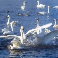Лебеди-кликуны...Алтай :: Анна Печкурова
