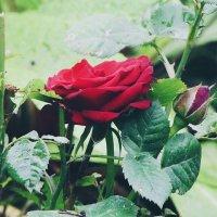 Роза :: Tanya N