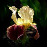 Солнце в цветке :: Ольга Голубева