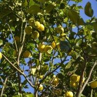 Росли лимончики у Соньки под балкончиком... :: Ефим Хашкес