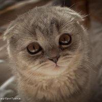 Голова котёнка :: Юрий Пузанов