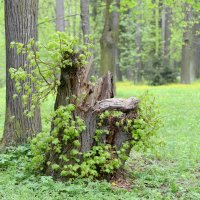 И даже пень в весенний день березкой стать мечтает!... :: Олег Савин
