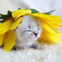 котенок в подсолнухе :: Наталья