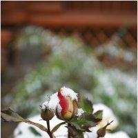 Цветы и снег . :: Игорь Абламейко