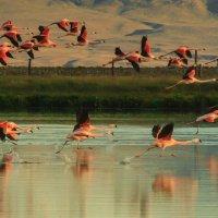 Александр Шмельков - Стая чилийских фламинго на закате