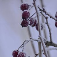 Зимние ягоды :: Denis Valerevich