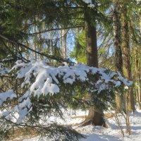 снежные лапы :: Елена