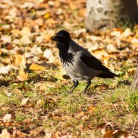 Серая ворона в поисках пищи :: Светлана Чуркина