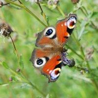 Павлиний глаз (лат. Inachis io) — дневная бабочка из семейства нимфалид :: Елена Павлова (Смолова)