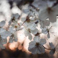 Когда цветет вишня :: Павел Корнеев