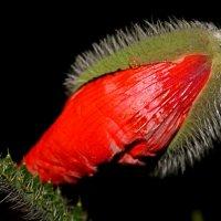 Красные маки-это живые язычки пламени.... :: Mari Kush